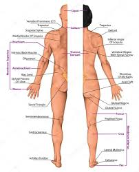 Human Body Anatomy Pics Male And Female Anatomical Body Surface Anatomy Human Body