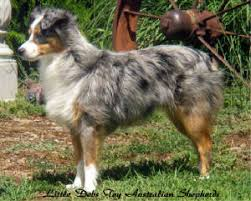 australian shepherd dog for sale washington breeder of toy australian shepherd puppy