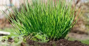 erba cipollina in vaso erba cipollina coltivazione e propriet罌 greenstyle