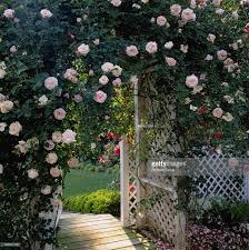 wild rose trellis stock photo getty images