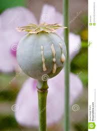 opium poppy papaver somniferum stock photo image 59404234