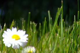 small white flowers small white flowers in green grass closeup free image on 4 free