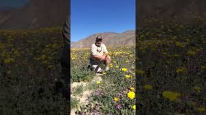superbloom anza borrego wildflowers 2017 youtube
