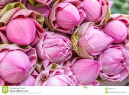 Lotus Flower Bloom - lotus flower bloom stock photo image 47453410