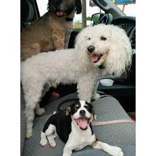 bedlington terrier san antonio lost dogs in san antonio tx lost my doggie