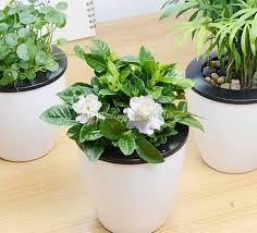 Fragrant Potted Plants - easy indoor flowering plants online easy indoor flowering plants
