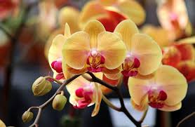 yellow orchid phalaenopsis orchids indoor flowers plant care rocket farms