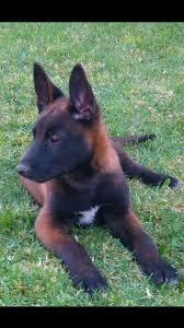 belgian sheepdog malinois 481 best malinois images on pinterest belgian malinois belgian