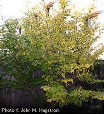 buy affordable witchhazel shrub hammamelis virginiana