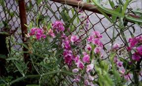 everlasting sweet pea perennial vines vines climbers twiners u of i extension