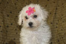 bichon frise kennels bichon frise puppies for sale in shippensburg pennsylvania http
