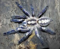 gooty sapphire ornamental tree spider poecilotheria metallica