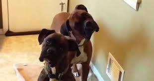 boxer dog howling boxer fan club part 2