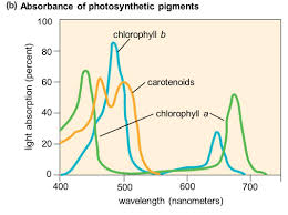 the absorption of light by photosynthetic pigments worksheet answers chapter 7 capturing solar energy photosynthesis ppt download