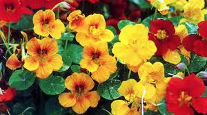 nasturtium flowers nasturtiums are beautiful edible and easy to grow