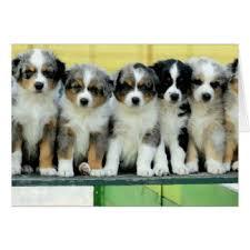 australian shepherd puppies queensland australian greeting cards zazzle com au