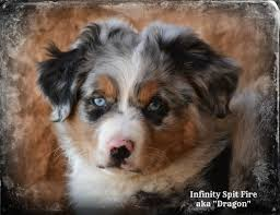rocking m australian shepherds males