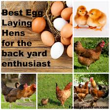 Best Laying Hens For Backyard Best Egg Laying Hens Family Finds Fun