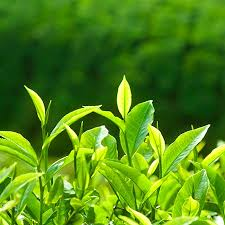 green plants tea plant camellia sinensis tea plants for sale fast growing