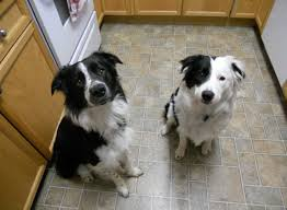 australian shepherd and border collie mix my entire childhood i couldn u0027t have a dog reddit meet my best