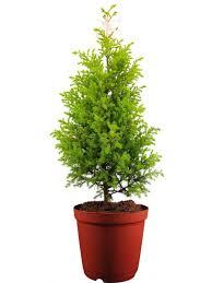 christmas plant christmas tree plants online india rolling nature christmas plant