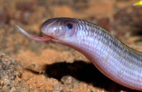 Plains Blind Snake Snakes Harmful U0026 Harmless Blind Snakes