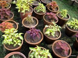 ornamental plants buy in bangalore