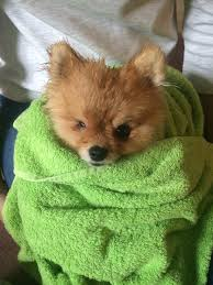 dog breed that looks like a baby fox best dog 2017