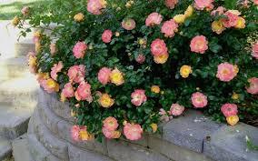 drift roses drift 1 gallon shrub groundcover