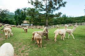 a homesteaders guide to alpaca care including 12 alpaca faq
