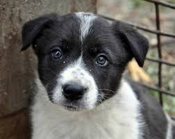 australian shepherd blue heeler american bulldog blue heeler mix dog and cat