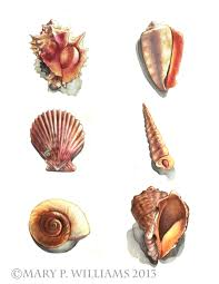 assorted seashells seashells p williams scientific illustration
