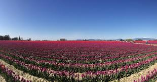 skagit valley tulip festival bloom map how to attend the skagit valley tulip festival valerie and valise
