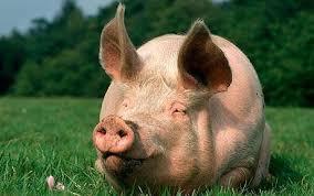 animali da cortile definizione maiali vendita maiali
