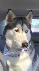 Husky 2 Ton Jack by 73 Best My Siberian Husky Images On Pinterest Siberian Huskies