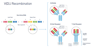 heavy chain light chain 10x genomics launches first high throughput solution for adaptive