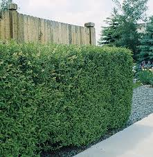 decorating privet hedge plants shaping process