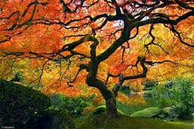 mellow monk s green tea beautiful japanese garden tree in