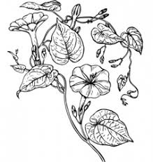moonflower vector images 9