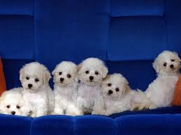 bichon frise dog breeders bichon frise dog breeders profiles and pictures dog breeders