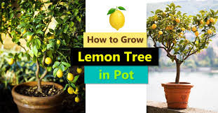 Types Of Vegetables To Grow In A Garden - how to grow a lemon tree in pot care and growing