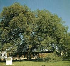 the famous trees in texas that you can visit this summer houston