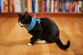 train your cat to walk on a leash u2013 adventure cats