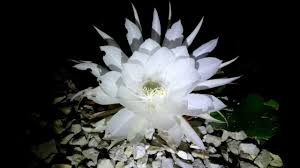 moon flowers moon flower the blooming cereus cacti blooms with poem by