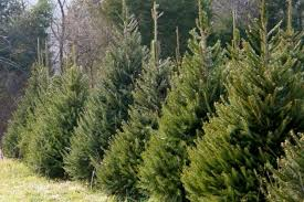 real christmas trees for sale real christmas tree prices beatiful tree