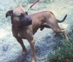 american pitbull terrier a legacy in gameness 697 best junglemaster images on pinterest american pit game and