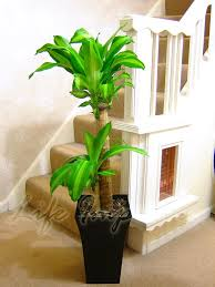 1 large indoor office house tree gloss pot palm dracaena