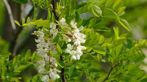up several branches of beautiful white acacia tree in
