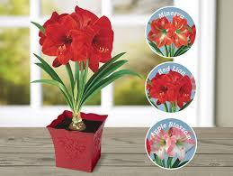 amaryllis flowers amaryllis pittman davis
