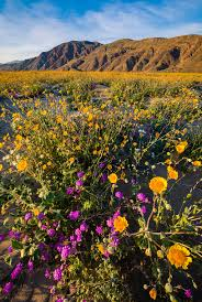 Where Is Anza Borrego by Anza Borrego Desert State Park Wildflower Super Bloom Travel